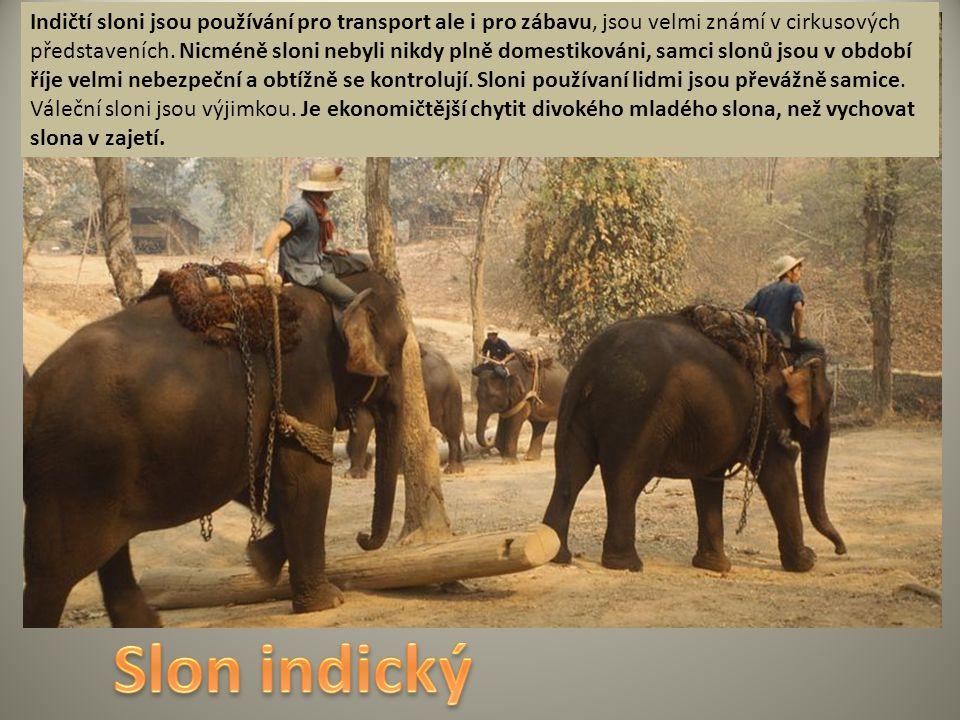 Indičtí sloni jsou používání pro transport ale i pro zábavu, jsou velmi známí v cirkusových představeních. Nicméně sloni nebyli nikdy plně domestikováni, samci slonů jsou v období říje velmi nebezpeční a obtížně se kontrolují. Sloni používaní lidmi jsou převážně samice. Váleční sloni jsou výjimkou. Je ekonomičtější chytit divokého mladého slona, než vychovat slona v zajetí.