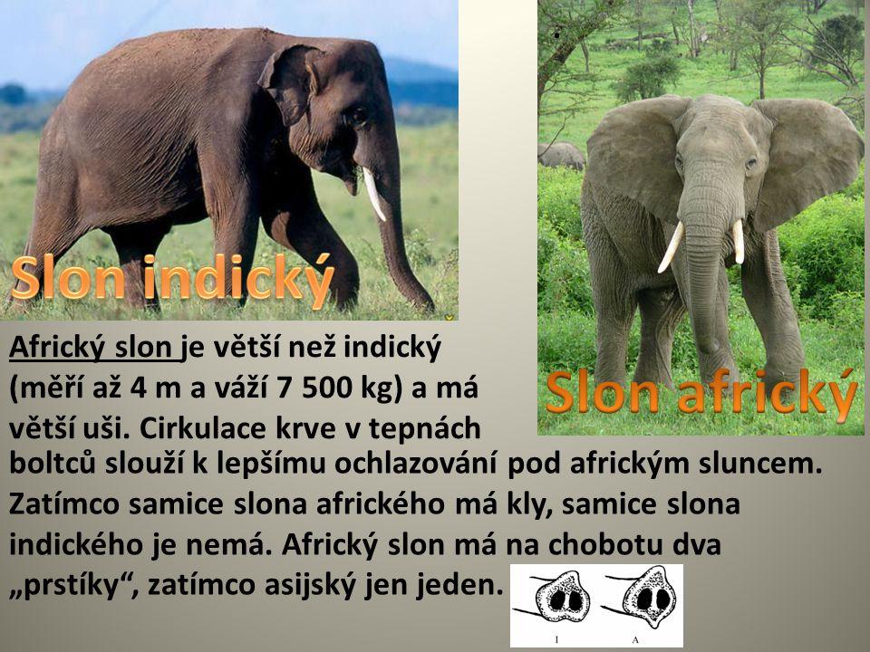 Slon indický Slon africký