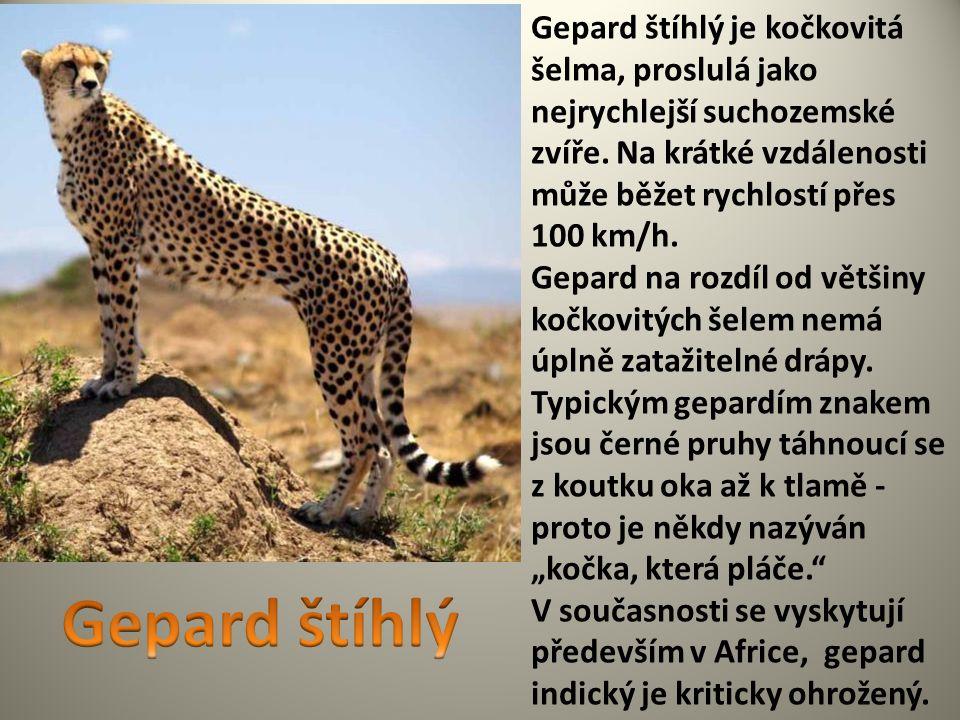 Gepard štíhlý je kočkovitá šelma, proslulá jako nejrychlejší suchozemské zvíře. Na krátké vzdálenosti může běžet rychlostí přes 100 km/h.