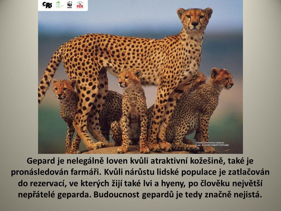 Gepard je nelegálně loven kvůli atraktivní kožešině, také je pronásledován farmáři.