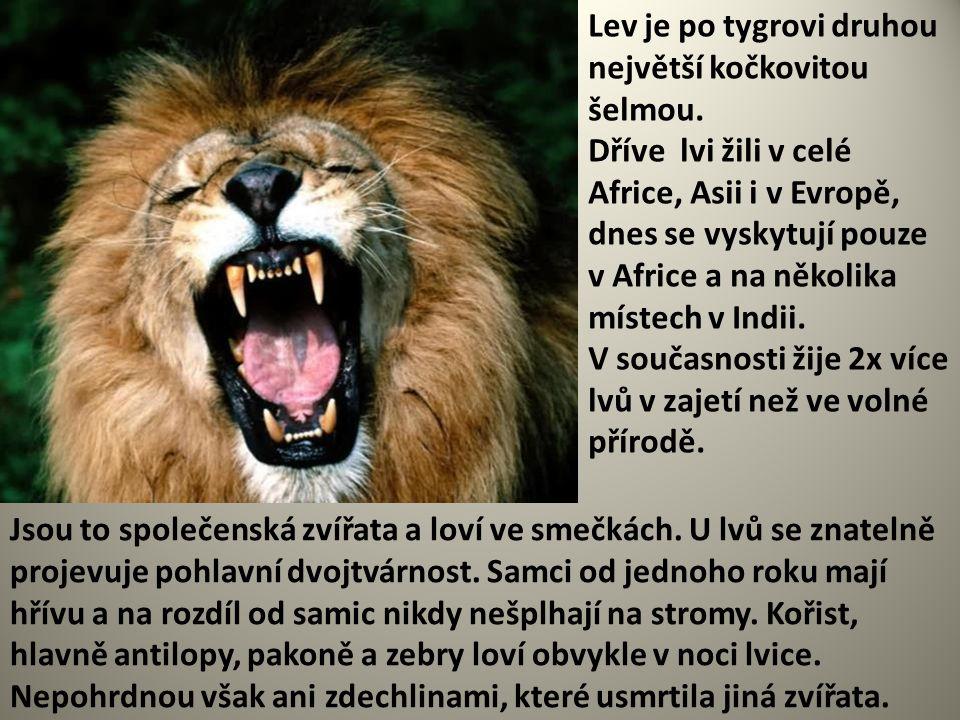 Lev je po tygrovi druhou největší kočkovitou šelmou.