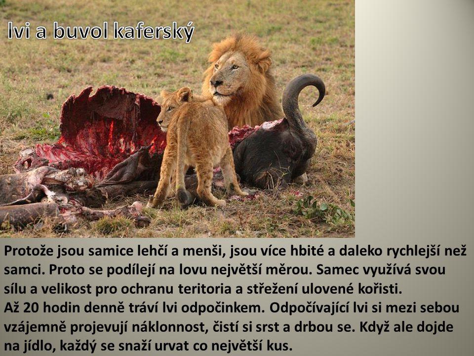 lvi a buvol kaferský