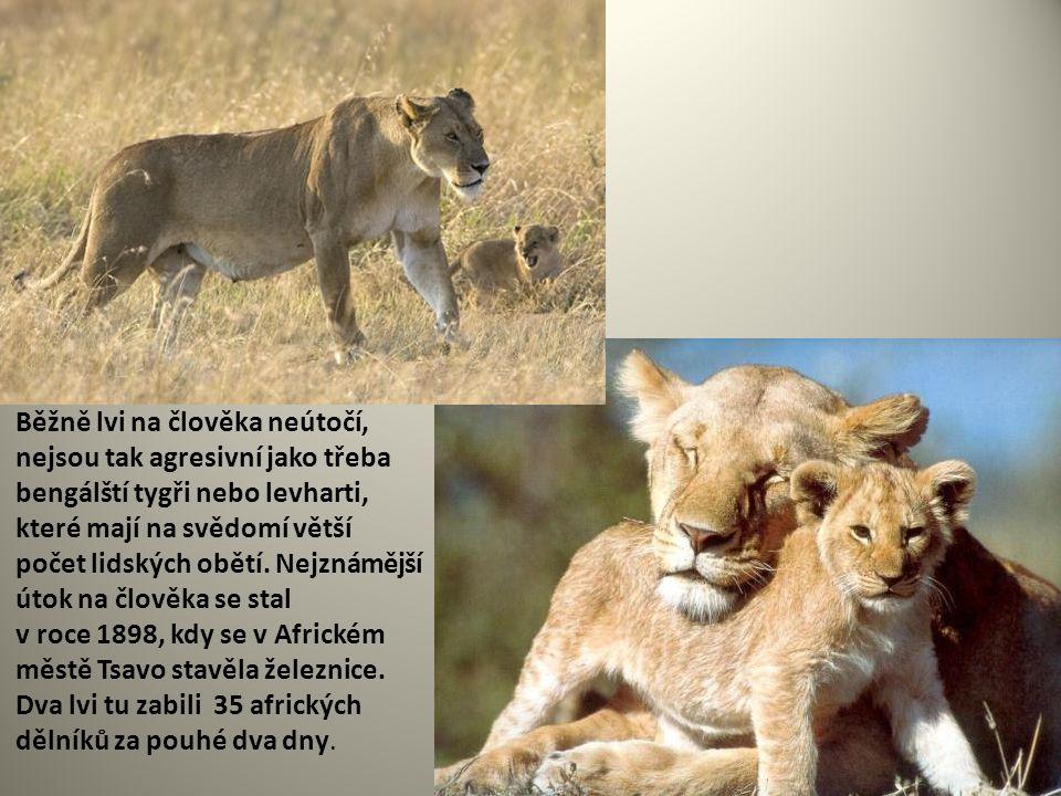 Běžně lvi na člověka neútočí, nejsou tak agresivní jako třeba bengálští tygři nebo levharti, které mají na svědomí větší počet lidských obětí.