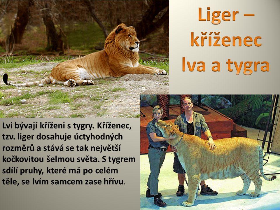 Liger – kříženec lva a tygra