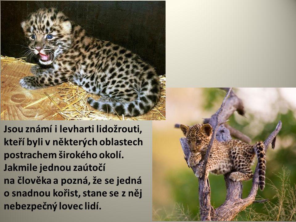 Jsou známí i levharti lidožrouti, kteří byli v některých oblastech postrachem širokého okolí.