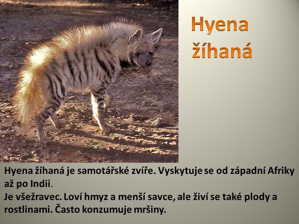 Hyena žíhaná Hyena žíhaná je samotářské zvíře. Vyskytuje se od západní Afriky až po Indii.