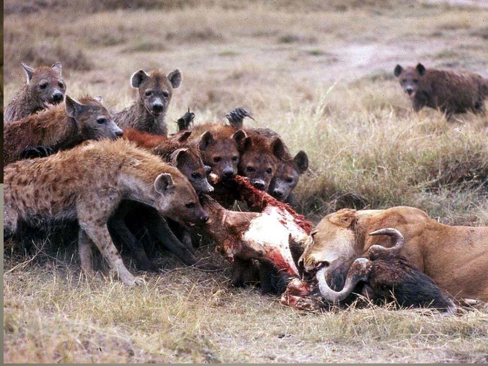 Chrup hyeny