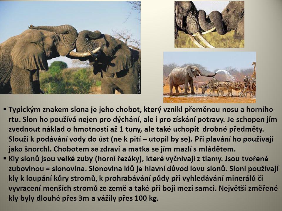 Typickým znakem slona je jeho chobot, který vznikl přeměnou nosu a horního rtu. Slon ho používá nejen pro dýchání, ale i pro získání potravy. Je schopen jím zvednout náklad o hmotnosti až 1 tuny, ale také uchopit drobné předměty. Slouží k podávání vody do úst (ne k pití – utopil by se). Při plavání ho používají jako šnorchl. Chobotem se zdraví a matka se jím mazlí s mládětem.
