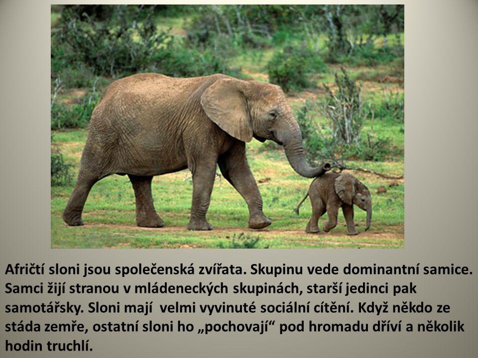 Afričtí sloni jsou společenská zvířata. Skupinu vede dominantní samice