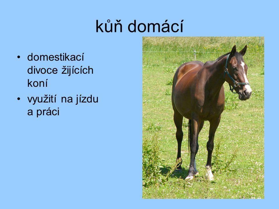 kůň domácí domestikací divoce žijících koní využití na jízdu a práci