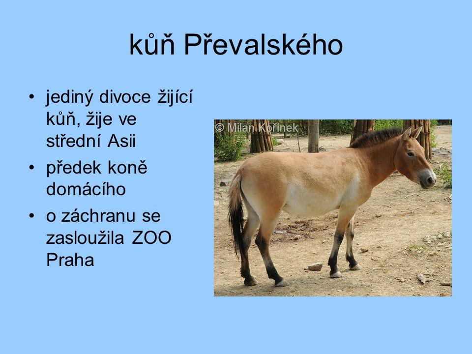 kůň Převalského jediný divoce žijící kůň, žije ve střední Asii