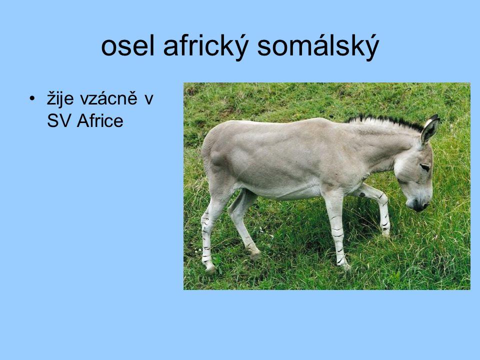 osel africký somálský žije vzácně v SV Africe