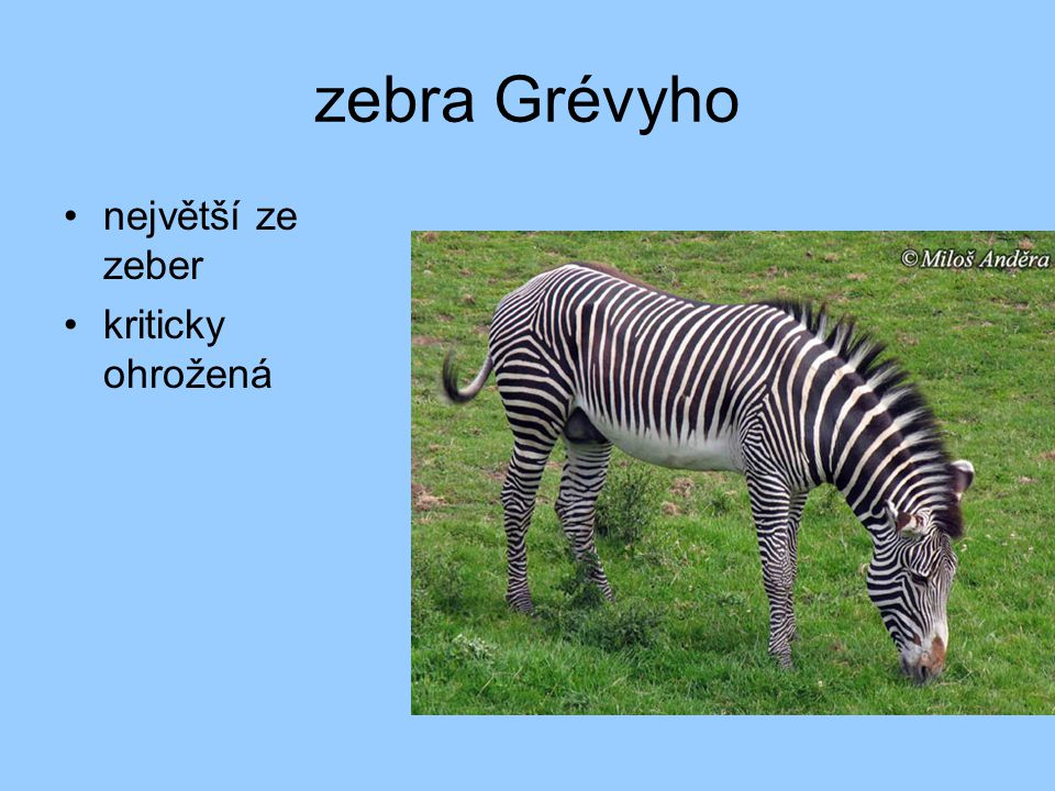 zebra Grévyho největší ze zeber kriticky ohrožená