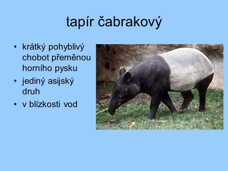 tapír čabrakový krátký pohyblivý chobot přeměnou horního pysku