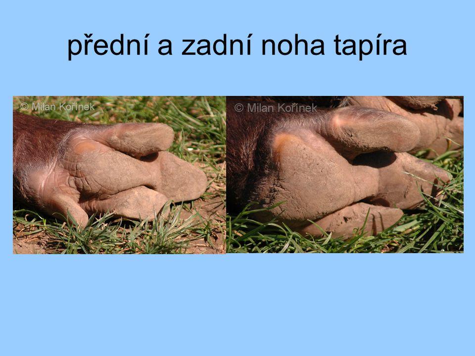 přední a zadní noha tapíra