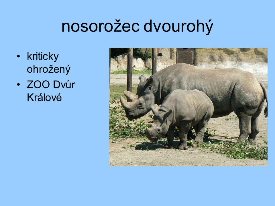 nosorožec dvourohý kriticky ohrožený ZOO Dvůr Králové