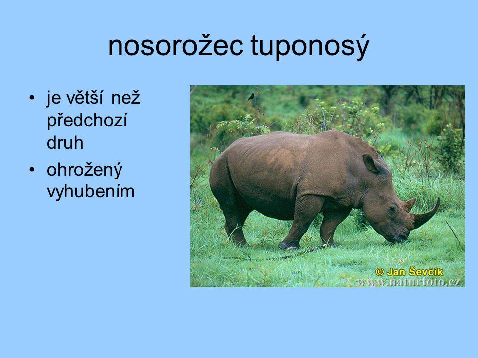 nosorožec tuponosý je větší než předchozí druh ohrožený vyhubením