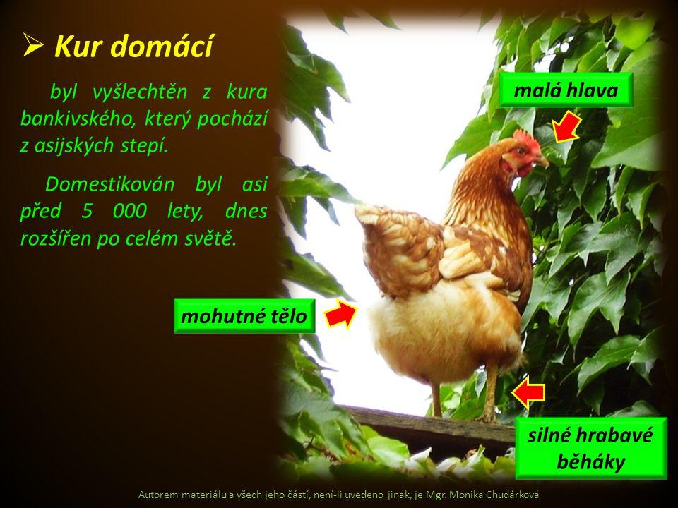 Kur domácí byl vyšlechtěn z kura bankivského, který pochází z asijských stepí.