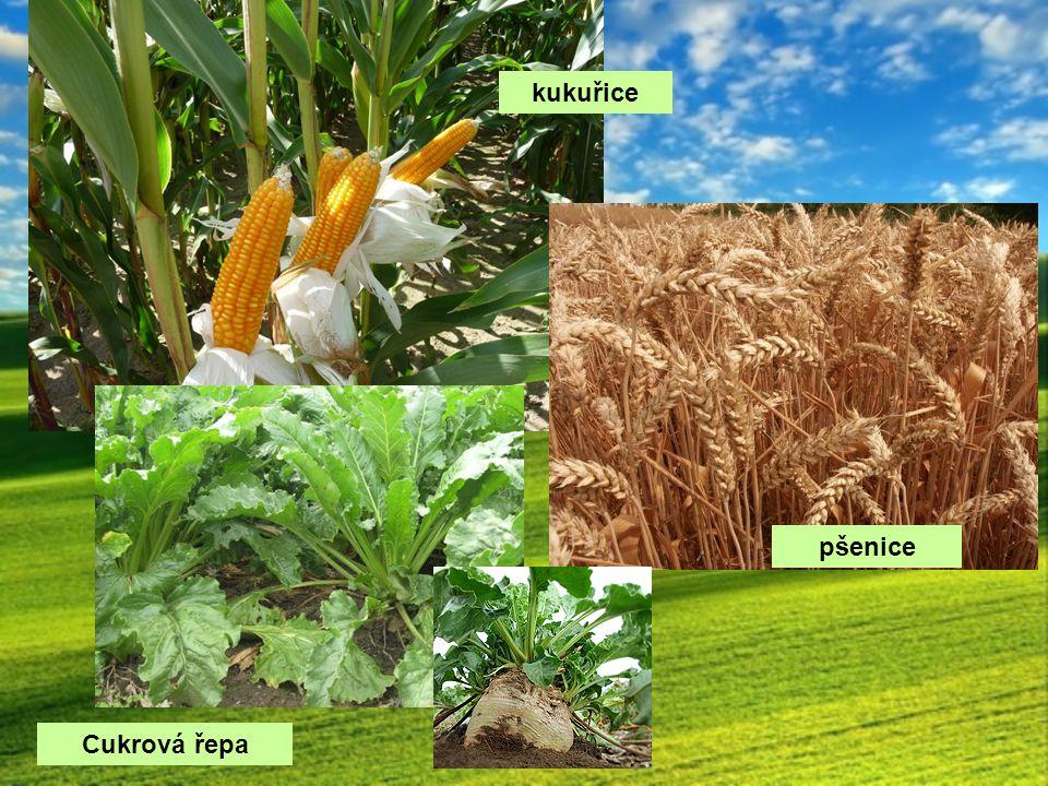 kukuřice pšenice Cukrová řepa