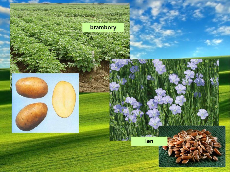 brambory len