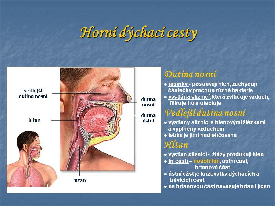 Horní dýchací cesty Dutina nosní Vedlejší dutina nosní Hltan