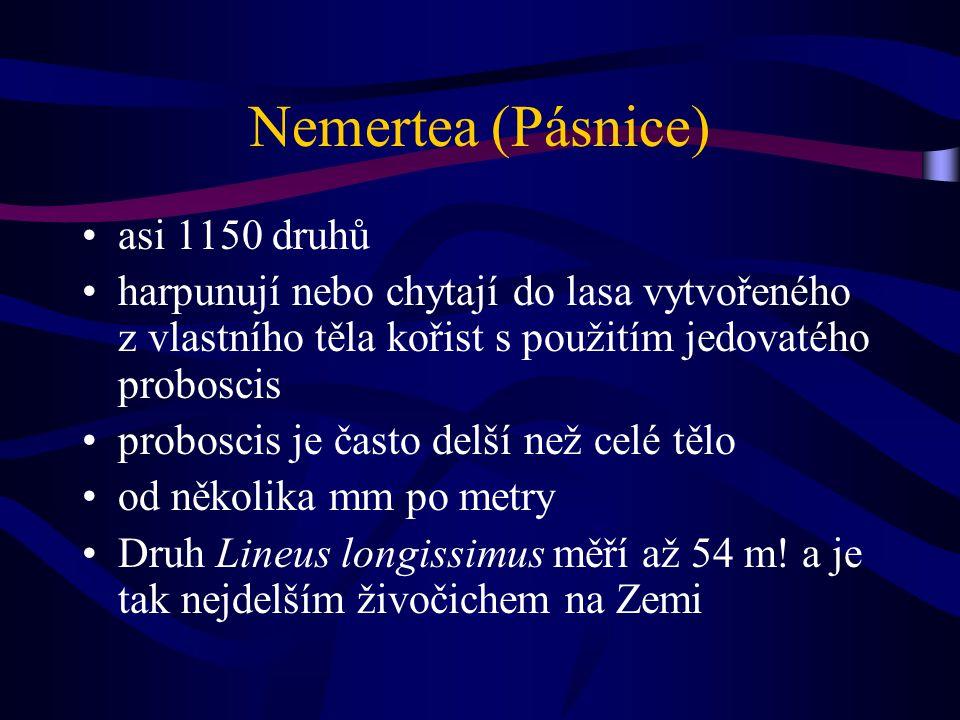 Nemertea (Pásnice) asi 1150 druhů