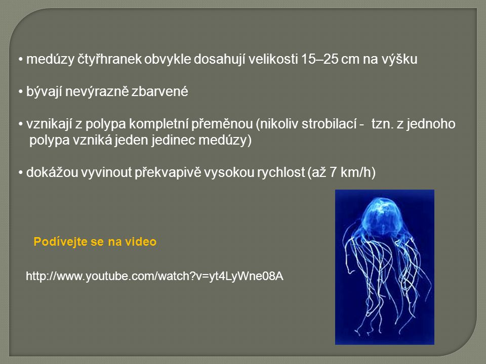 medúzy čtyřhranek obvykle dosahují velikosti 15–25 cm na výšku