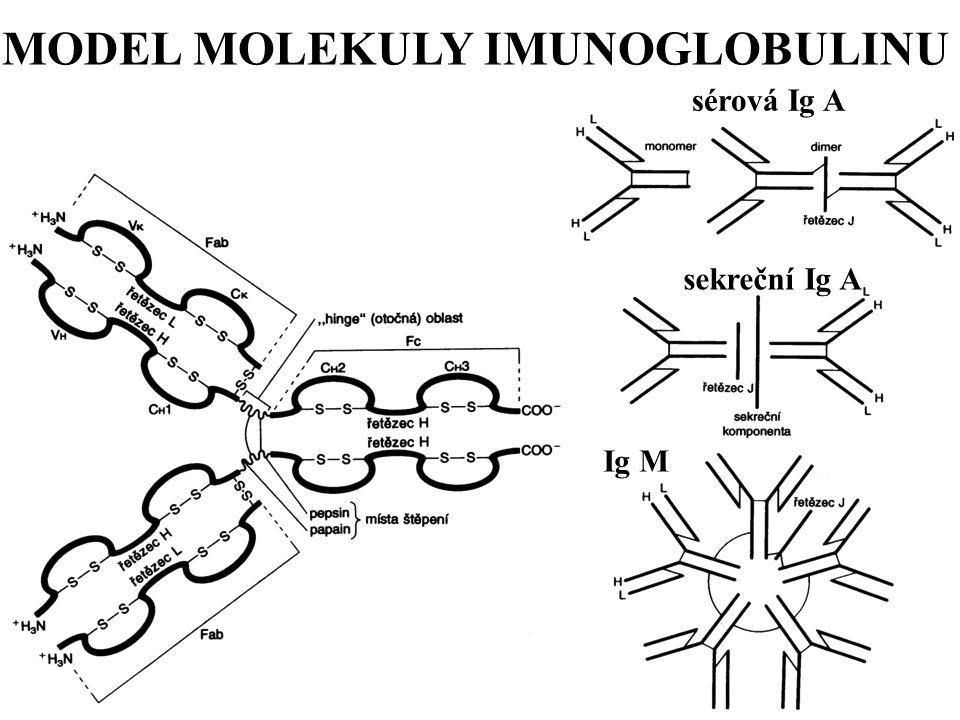 MODEL MOLEKULY IMUNOGLOBULINU