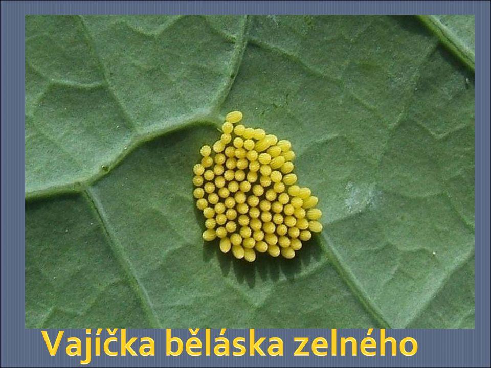 Vajíčka běláska zelného