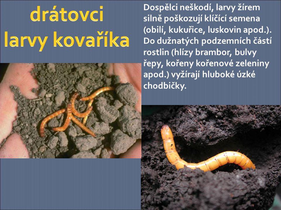 drátovci larvy kovaříka
