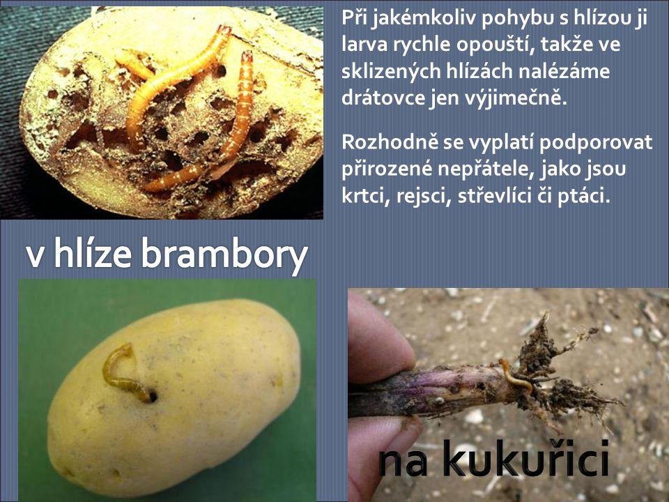 na kukuřici v hlíze brambory