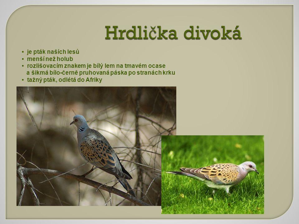 Hrdlička divoká • je pták naších lesů • menší než holub