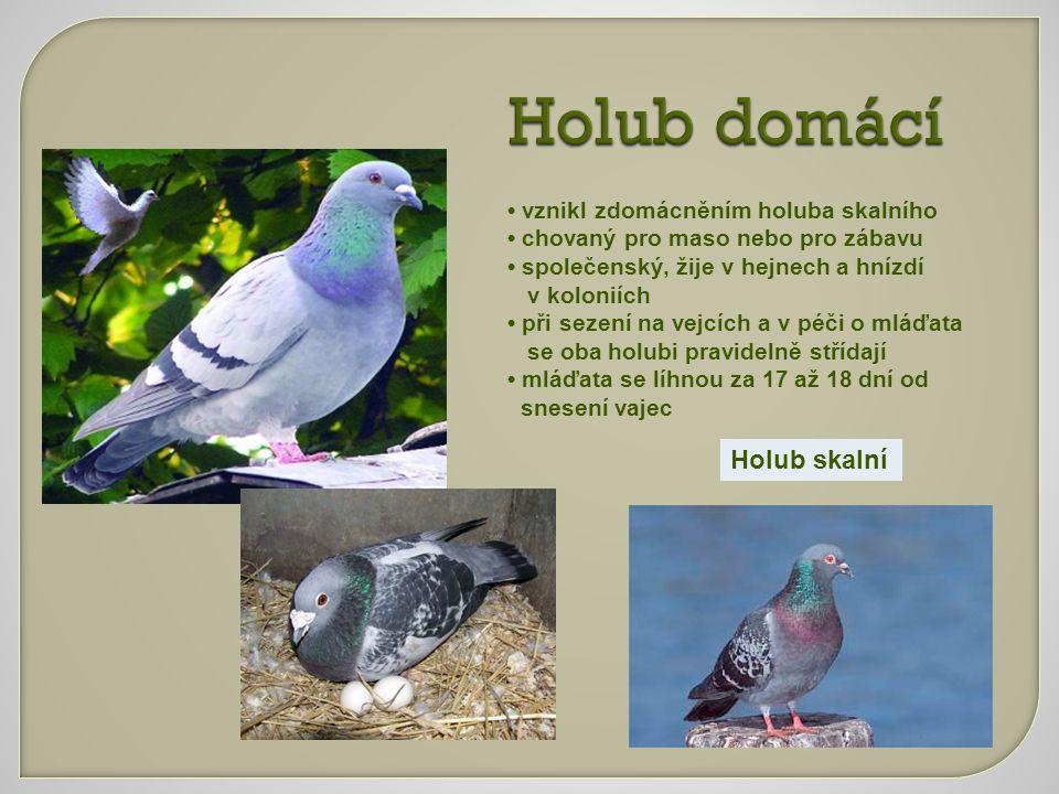 Holub domácí Holub skalní • vznikl zdomácněním holuba skalního