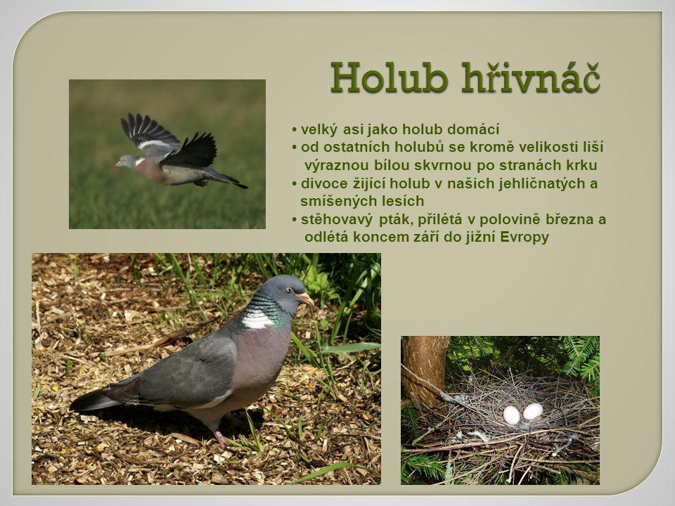 Holub hřivnáč • velký asi jako holub domácí