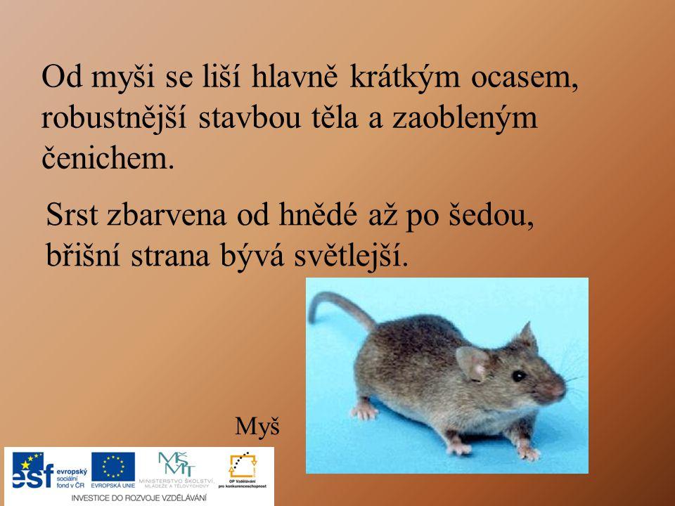Od myši se liší hlavně krátkým ocasem,