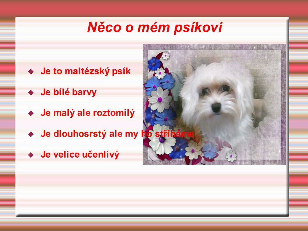 Něco o mém psíkovi Je to maltézský psík Je bílé barvy