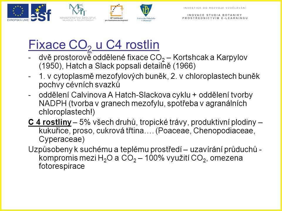 Fixace CO2 u C4 rostlin dvě prostorově oddělené fixace CO2 – Kortshcak a Karpylov (1950), Hatch a Slack popsali detailně (1966)