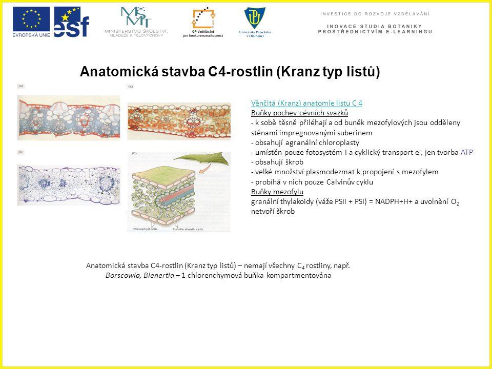 Anatomická stavba C4-rostlin (Kranz typ listů)