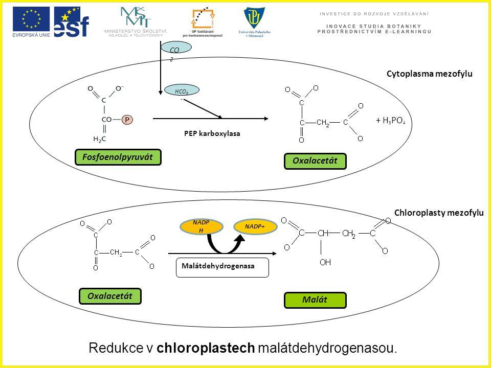 Redukce v chloroplastech malátdehydrogenasou.