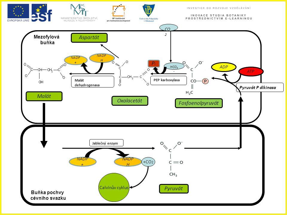 Aspartát Pi Malát Oxalacetát Fosfoenolpyruvát Pyruvát CO2 Mezofylová