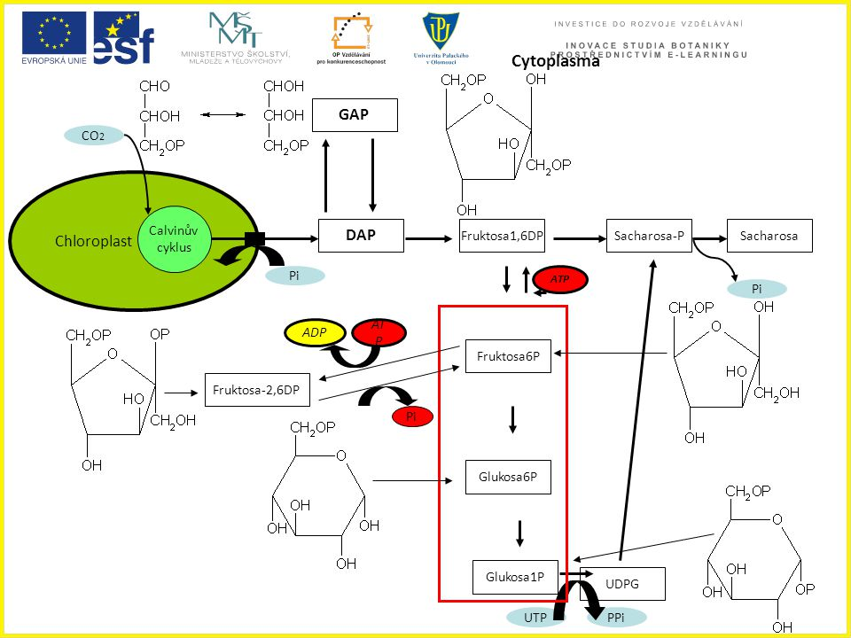 Cytoplasma GAP Chloroplast DAP CO2 Calvinův cyklus Fruktosa1,6DP