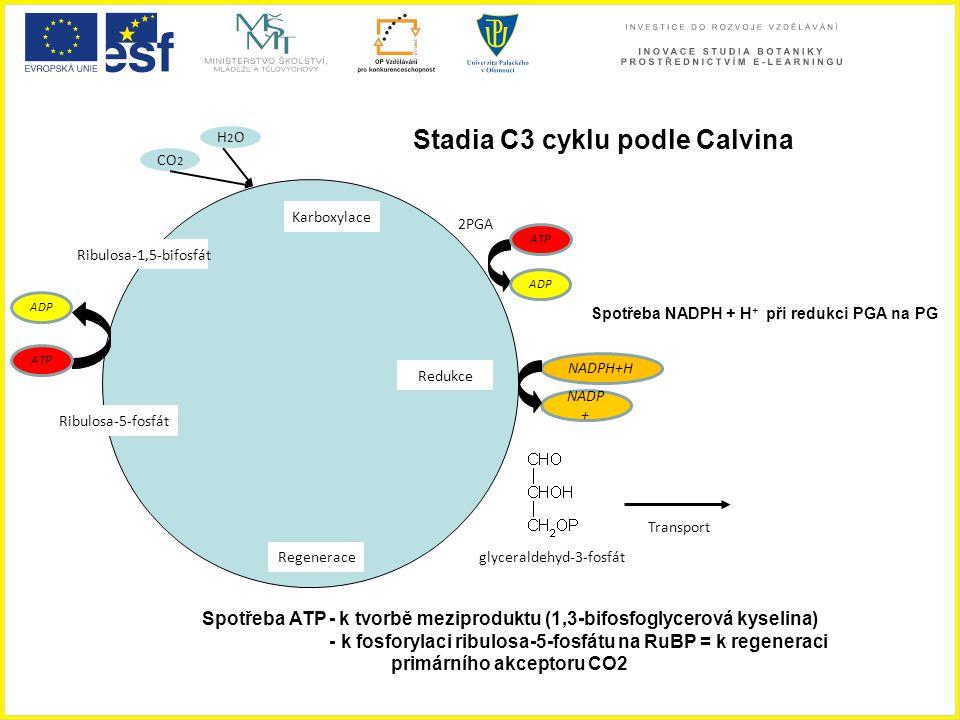 Stadia C3 cyklu podle Calvina