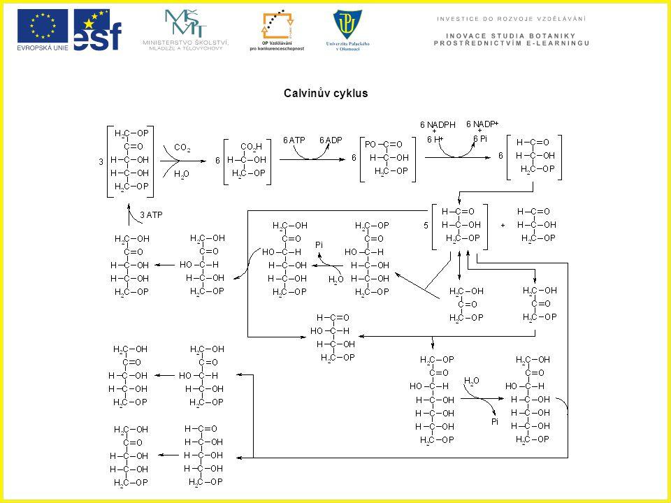 Calvinův cyklus Calvinův cyklus