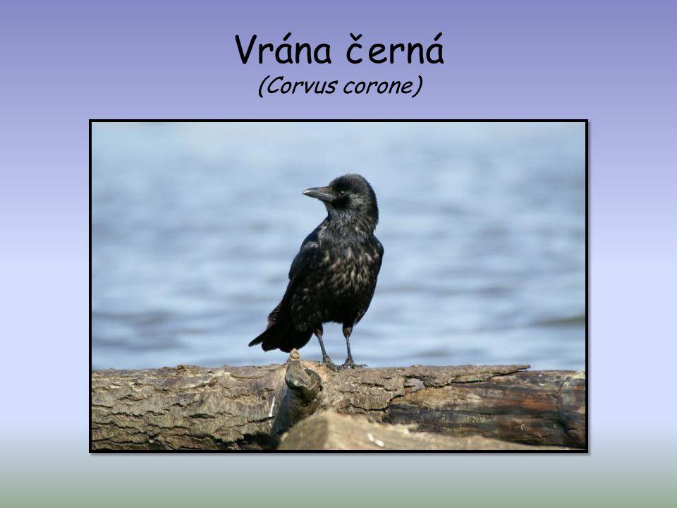 Vrána černá (Corvus corone)
