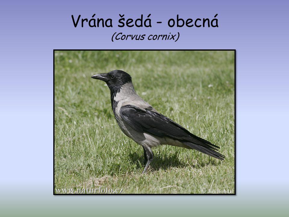 Vrána šedá - obecná (Corvus cornix)