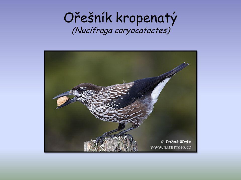 Ořešník kropenatý (Nucifraga caryocatactes)