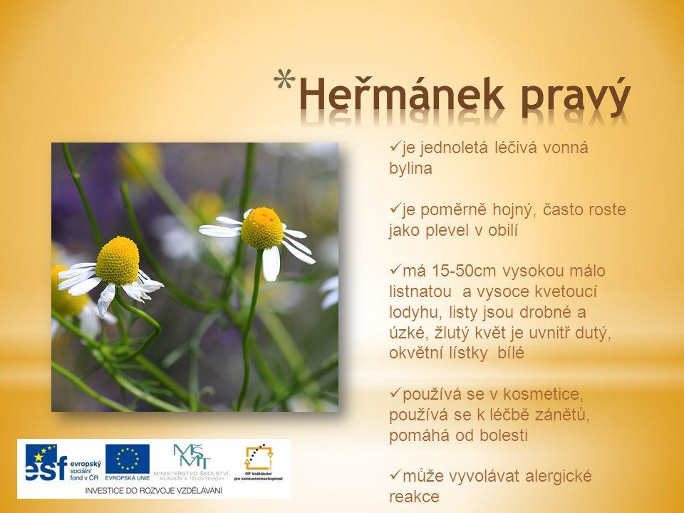 Heřmánek pravý je jednoletá léčivá vonná bylina