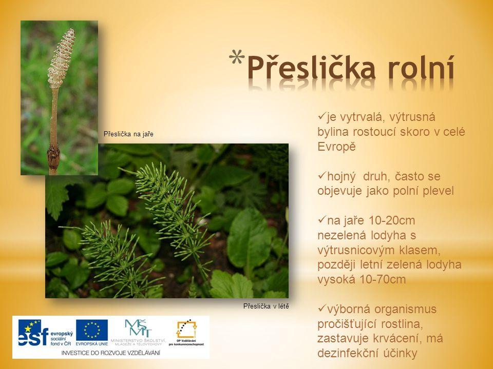 Přeslička rolní je vytrvalá, výtrusná bylina rostoucí skoro v celé Evropě. hojný druh, často se objevuje jako polní plevel.