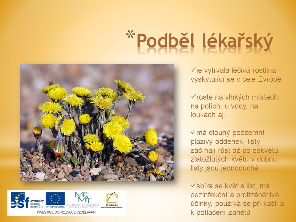 Podběl lékařský je vytrvalá léčivá rostlina vyskytující se v celé Evropě. roste na vlhkých místech, na polích, u vody, na loukách aj.