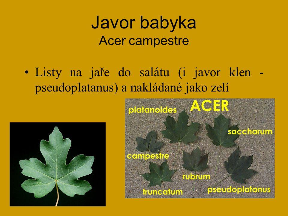 Javor babyka Acer campestre
